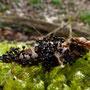 slijmschimmelsoort