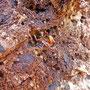 overwinterende hoornaars (Vespa crabro)