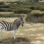 Zebra at Buffelfontein
