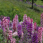 Roger Banissi : Lupins