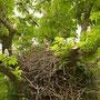Einer von vielen Störchen (Luisenpark)