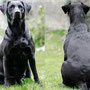 46. Trächtigkeitstag: Ivy hat seit dem Ultraschall 5.2 kg zugenommen und der Bauchumfang nähert sich den 80cm