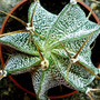 Astrophytum ornatum Meztitlan