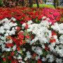 公園から高田馬場へ戻る道で見つけたツツジ。春ですね