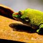 Madagascar Taggeko