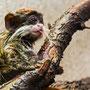 Junger Kaiserschnurrbart