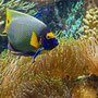 Diadem-Kaiserfisch