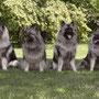 darf ich vorstellen - mein Wolfsspitz-Rudel aus Wien: Bailey the grey Sensation, Tante Enya, ich, Ivy