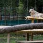 Eine hübsche Wolfsdame im Wolfsforschungszentrum Ernstbrunn!