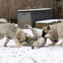 mit vereinten Kräften brachten wir (Ganja links und ich rechts) unseren Bruder Grizzly zu Fall
