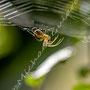 Spinne Nr.0480