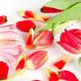 Tulpe Nr.0042