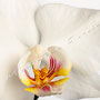 Orchidee Nr.0612