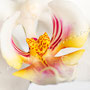 Orchidee Nr.0603