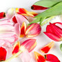 Tulpe Nr.0043