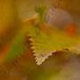 Herbstblatt Nr.0066