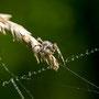 Spinne Nr.0469