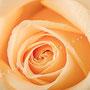 Rosenblüten-Blätter Nr.0379