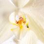 Orchidee Nr.0629
