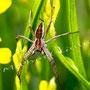 Spinne Nr.0428