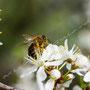 Biene in Kirschblüte 275