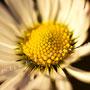 Blume Nr.0365