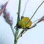 Käfer Nr. 0424