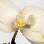 Orchidee Nr.0622