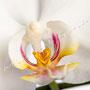 Orchidee Nr.0615