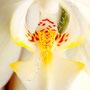 Orchidee Nr.0630