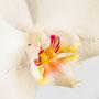 Orchidee Nr.0610
