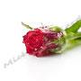 Vereiste-Rose Nr.0036