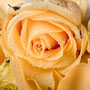 Rosenblüten-Blätter Nr.0386