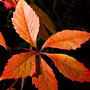 Herbstblatt Nr.0052