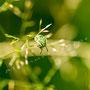 Grüne Stinkwanze Nr. 0437