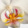 Orchidee Nr.0606