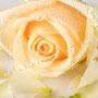 Rosenblüten-Blätter Nr.0382