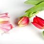 Tulpe Nr.0040