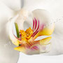 Orchidee Nr.0605