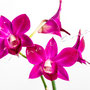 Orchidee Nr.0637