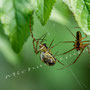 Spinne Nr.0466