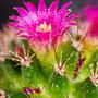 Kaktusblüte Nr.0028