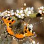Schmetterling Nr.0401