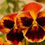 Blume Nr.0183