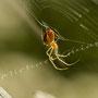 Spinne Nr.0463