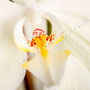 Orchidee Nr.0631