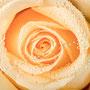 Rosenblüten-Blätter Nr.0381