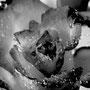 Rose 229