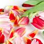 Tulpe Nr.0044