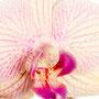 Orchidee Nr.0645